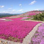 茶臼山 芝桜