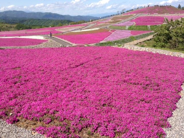 茶臼山 芝桜1